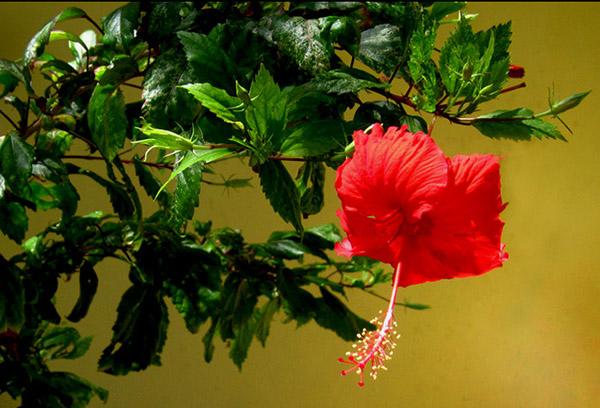 Китайский гибискус цветет