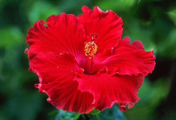 Цветок китайского гибискуса
