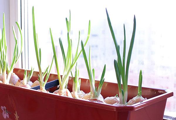 Как вырастить зеленый лук зимой на подоконнике