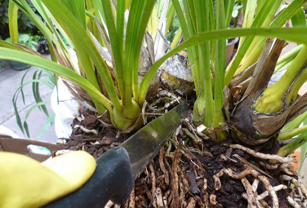 Размножение орхидеи цимбидиум
