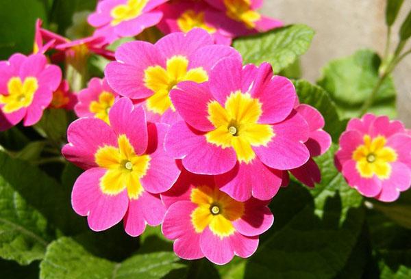 Ярко-розовые цветы примулы
