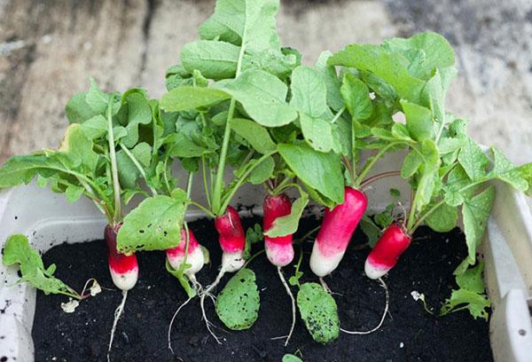 Выращивание сортов редиски на подоконнике