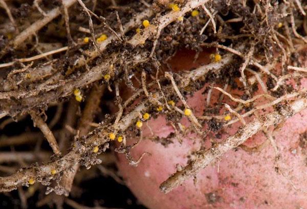 Цисты золотистой нематоды на корнях картофеля