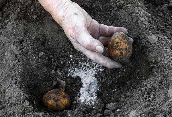 Внесение золы при посадке картофеля