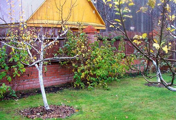 Молодые яблони в саду