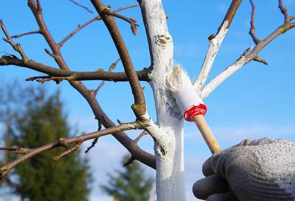 Средство от короеда на яблоне