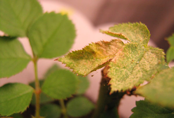 Роза, пораженная паутинным клещом