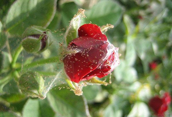 Паутинный клещ на бутоне розы