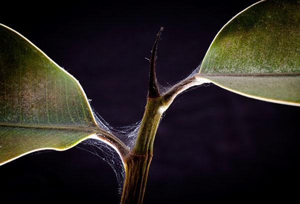 Признаки появления паутинного клеща