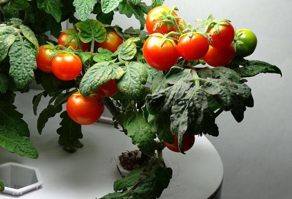 Карликовый сорт томатов