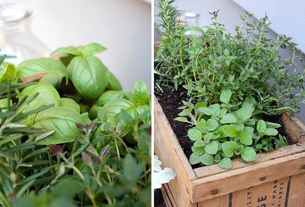Пряности для домашнего выращивания