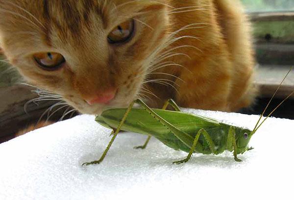 Кот и саранча