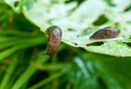 Слизни едят лист капусты