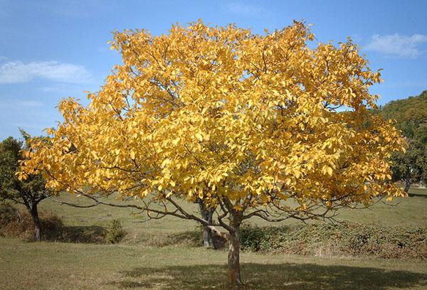 Грецкий орех осенью