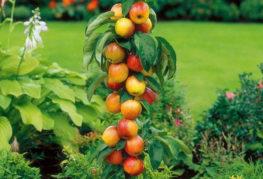 Плодоношение колоновидной яблони