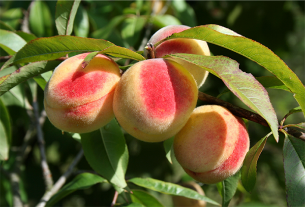 Плоды персика на ветке