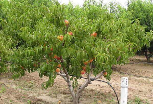 Молодой персик