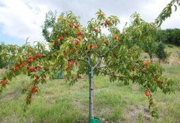 Молодой персик с плодами