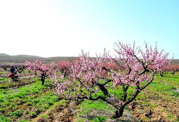 Старое персиковое дерево