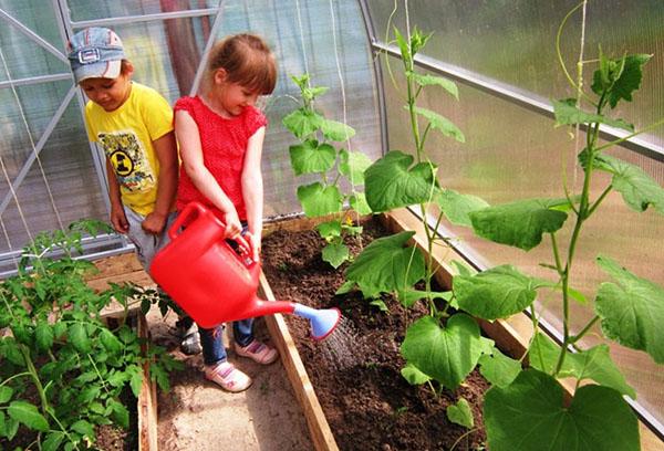 Дети поливают огурцы в теплице