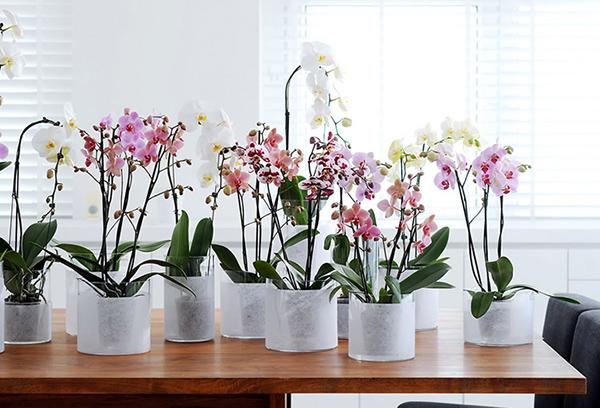 Нижний полив цветущих орхидей