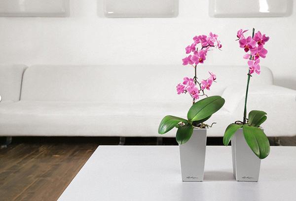 Цветущие орхидеи в интерьере
