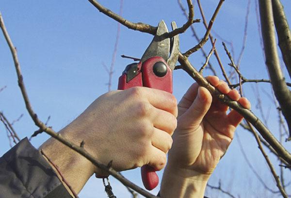 Корректировка кроны вишни