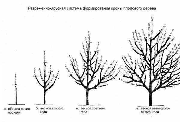 Обрезка яблонь до вступления в плодоношение