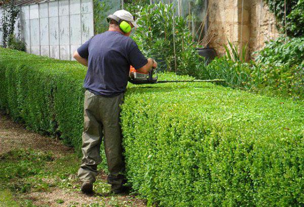 Стрижка живой изгороди из жимолости