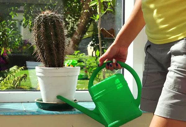 Полив кактуса летом