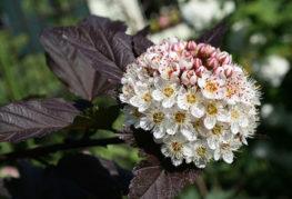 Цветение пузыреплодника диаболо