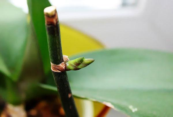 Почка на цветоносе орхидеи