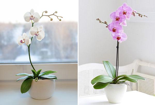 Два вида орхидеи фаленопсис