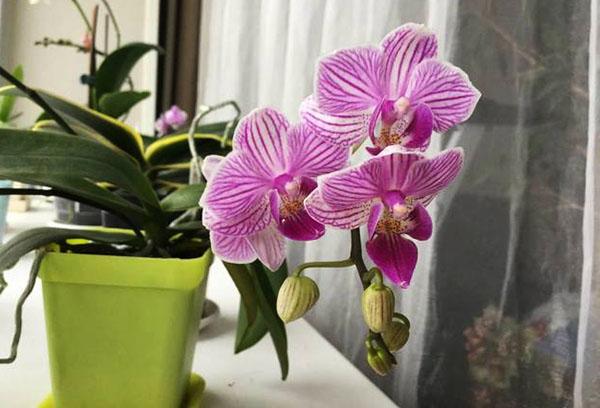 Цветущая орхидея на подоконнике