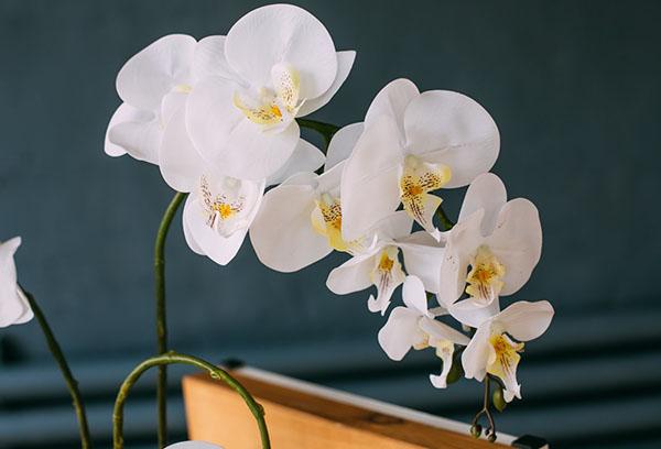Белые цветы орхидеи фаленопсис