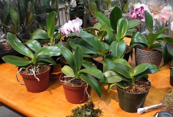 Орхидеи фаленопсис в горшках
