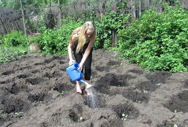 Девушка поливает высаженную на грядки капусту
