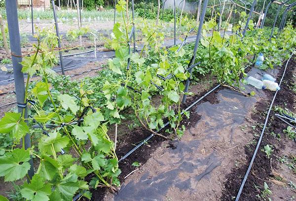 Капельный полив виноградника