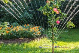 Полив молодой яблони дождеванием