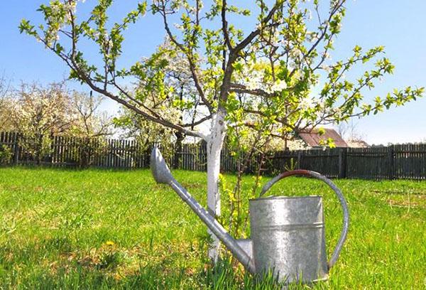 Молодая яблоня и лейка для полива