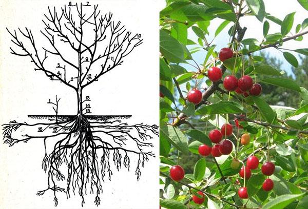 Корневая система вишни