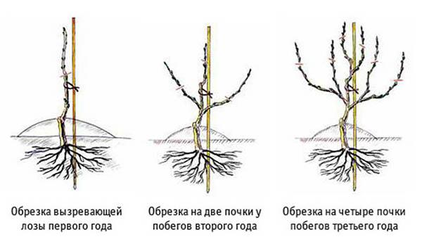 Схема обрезки молодых кустов винограда