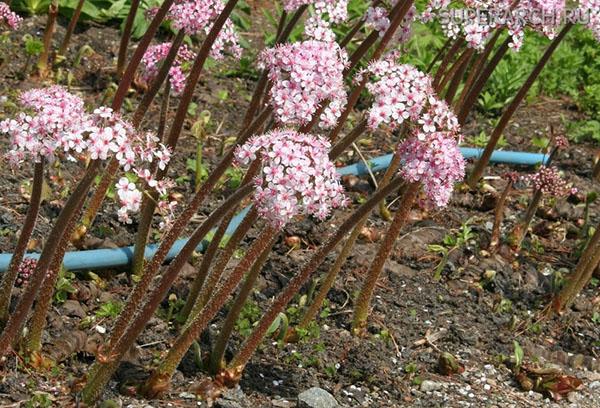 Пельтифиллум весной