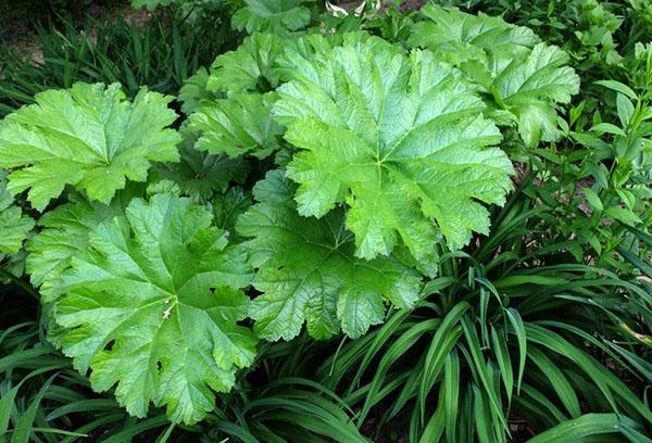 Листья дармеры щитовидной