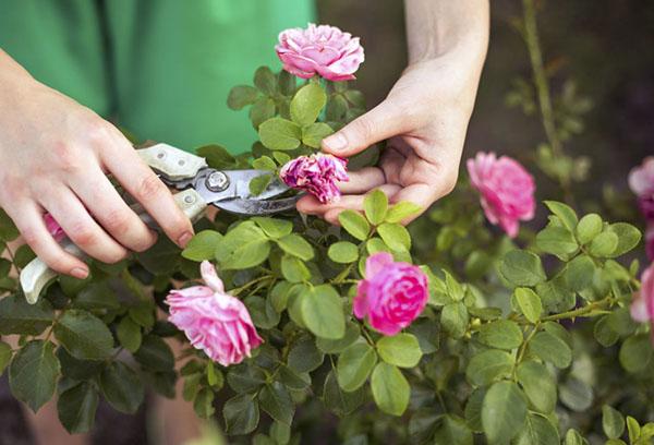 Летняя обрезка розы
