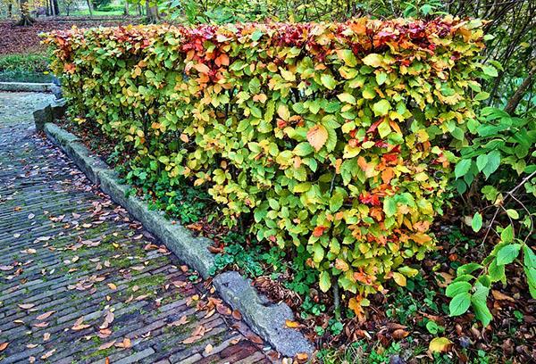 Живая изгородь осенью