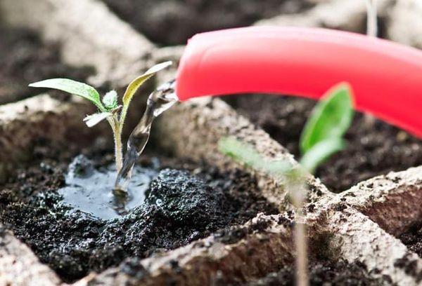 Полив ростков