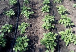 Капельный полив картофельных гряд