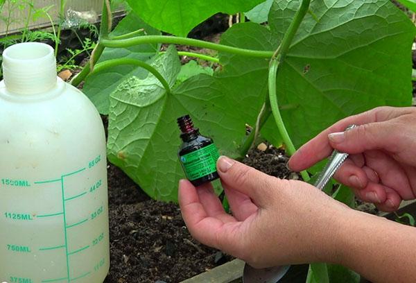 Обработка огурцов раствором зеленки