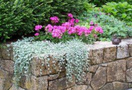 Розовые садовые цветы